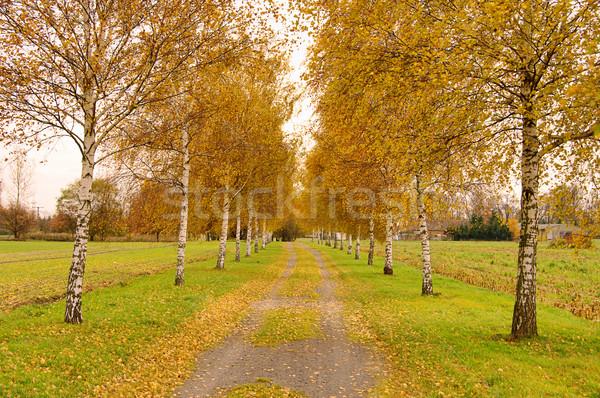 Birkenallee - birch tree avenue 01 Stock photo © LianeM