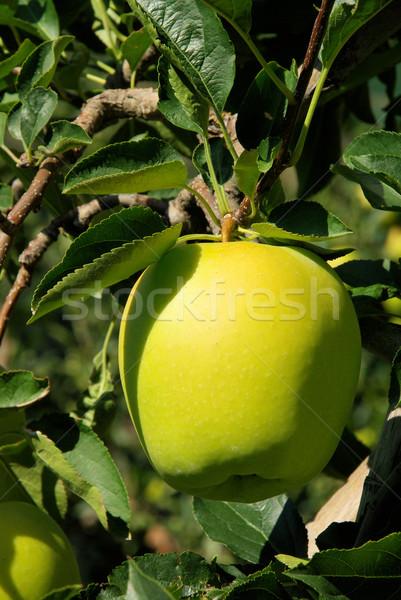 apple on tree 59 Stock photo © LianeM