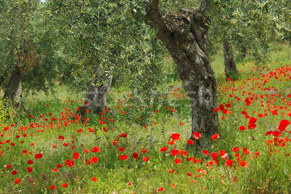 ケシ オリーブの木 花 ツリー フィールド 赤 ストックフォト © LianeM
