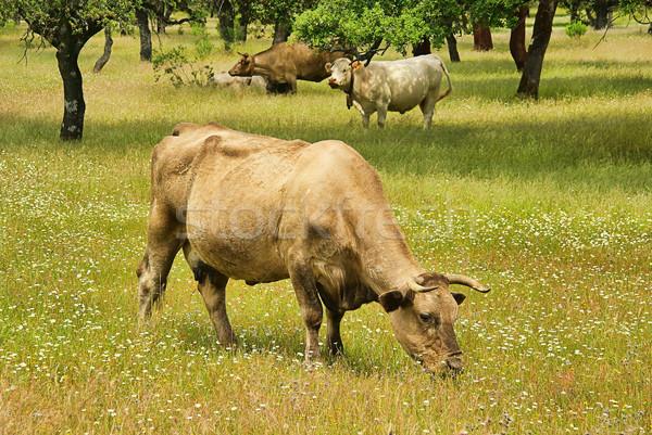 cow 53 Stock photo © LianeM