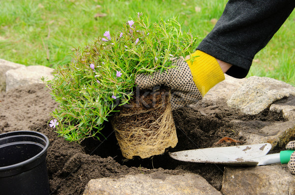shrub planting 11 Stock photo © LianeM