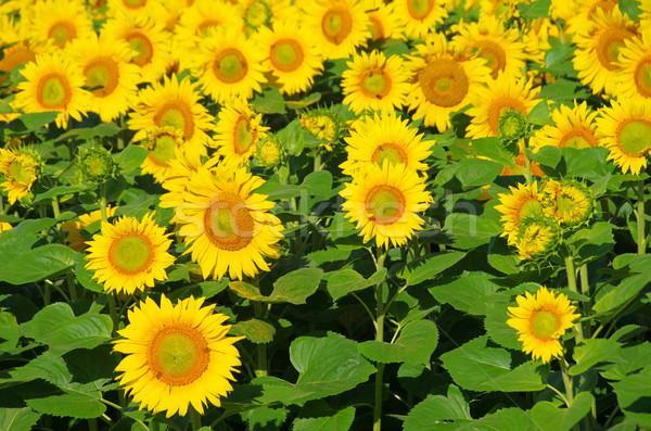 sunflowers field 08 Stock photo © LianeM