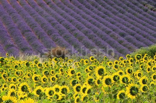 lavender and  sunflowers 06 Stock photo © LianeM