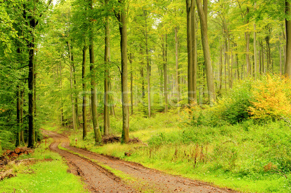 Buchenwald mit Weg - beech forest with trail 08 Stock photo © LianeM