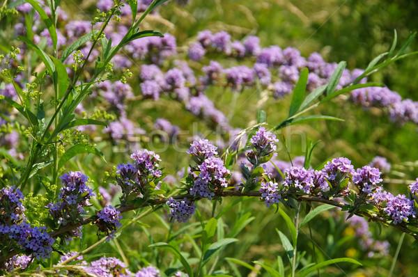 Buddleja alternifolia in summer Stock photo © LianeM