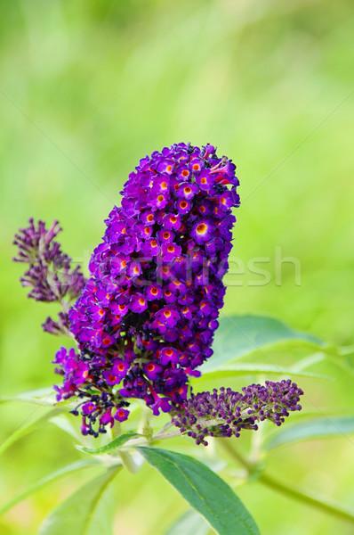butterfly bush 02 Stock photo © LianeM