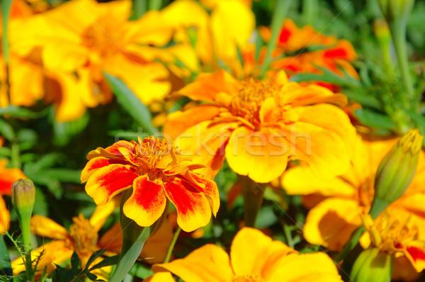 25 yaz turuncu yeşil kırmızı altın Stok fotoğraf © LianeM