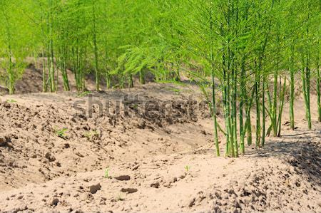 Spargelfeld - asparagus field 28 Stock photo © LianeM