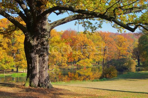 Chêne automne arbre feuille arbres été Photo stock © LianeM