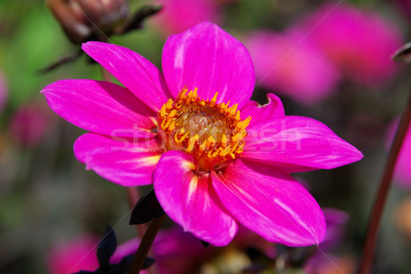 Dália 26 flor folha jardim verde Foto stock © LianeM