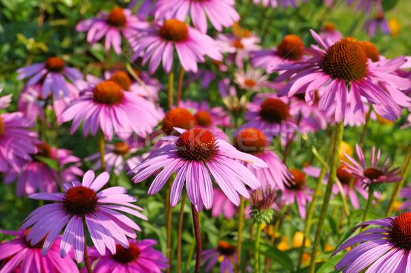 Purple coneflower, nice pink summer flower Stock photo © LianeM