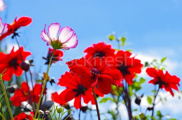 Dalya çiçek yaz çiçekler yaprak yeşil Stok fotoğraf © LianeM