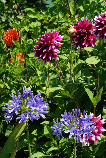 Dalia kwiat charakter liści zielone niebieski Zdjęcia stock © LianeM
