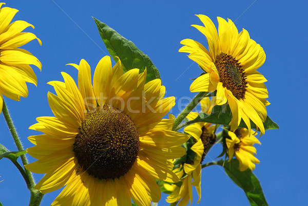 Girassóis 26 céu folha abelha inseto Foto stock © LianeM