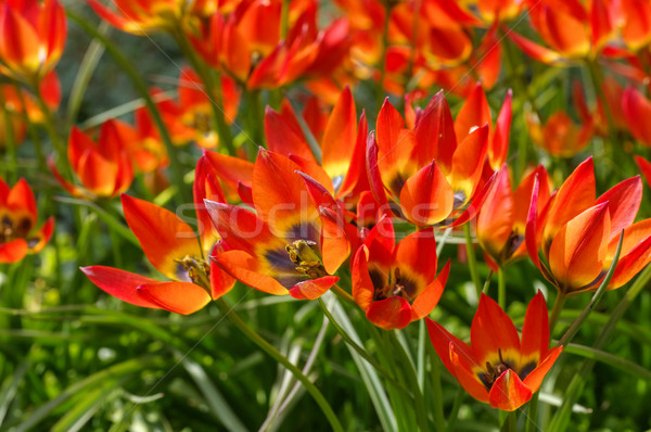 wild tulip Tulipa Little Princess Stock photo © LianeM