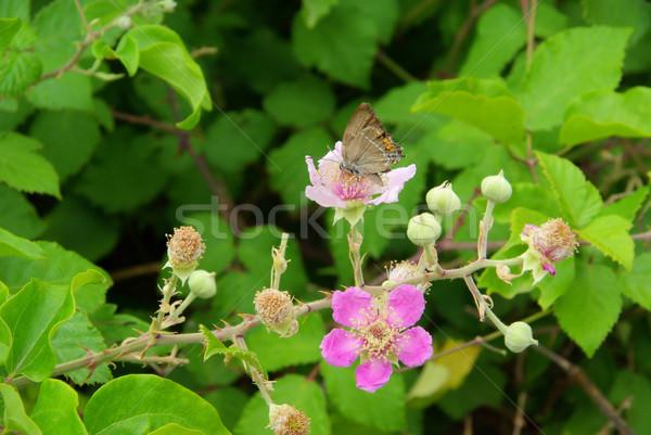 flower from blackberry 03 Stock photo © LianeM