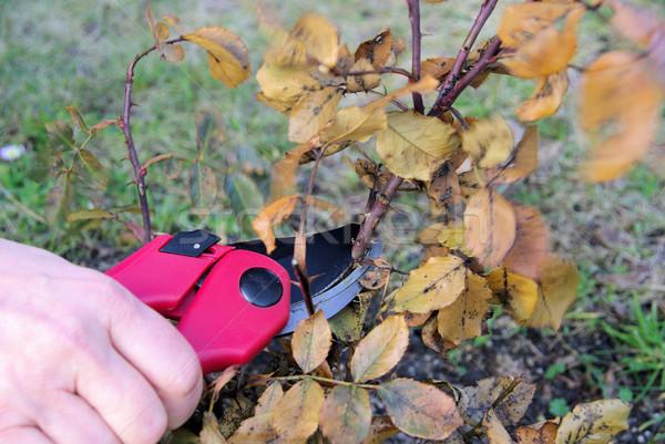 Krzew cięcie drewna wzrosła owoców ogród Zdjęcia stock © LianeM