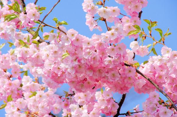 Cherry Blossom 19 весны природы лист саду Сток-фото © LianeM