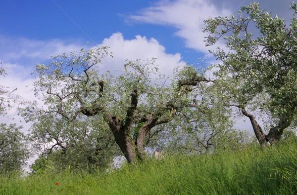 Olajfa Toszkána égbolt fa fa természet Stock fotó © LianeM