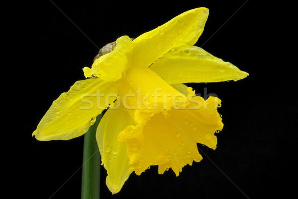 Daffodil черный зеленый красивой желтый макроса Сток-фото © LianeM