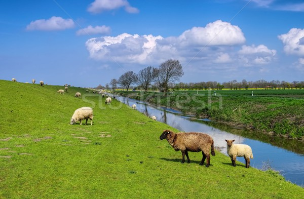 Eastern Friesland sheeps  Stock photo © LianeM