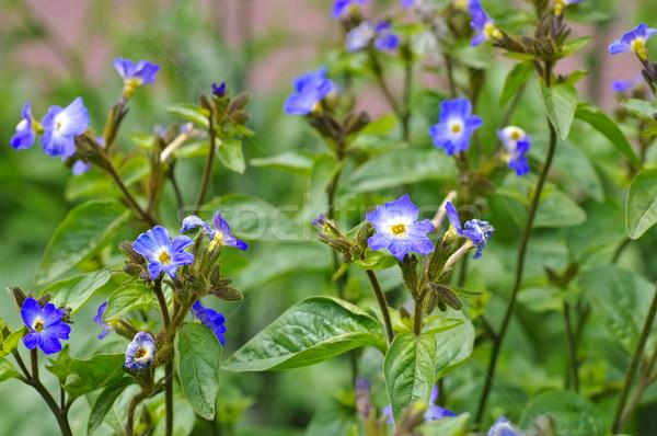 синий диких цветов лист зеленый растений Сток-фото © LianeM