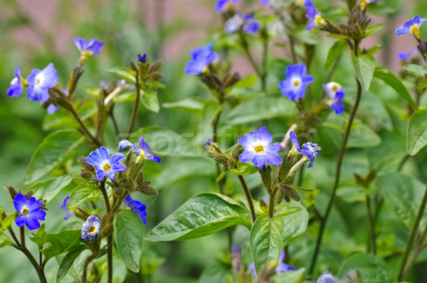 Blauw wildflower blad groene planten wild Stockfoto © LianeM
