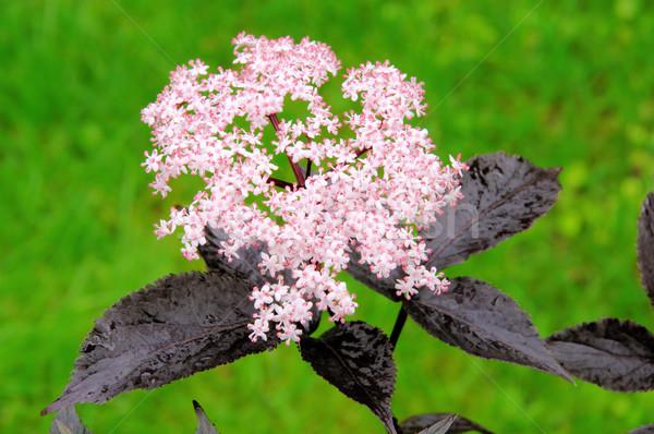 Maggiore fiore verde rosso nero impianto Foto d'archivio © LianeM