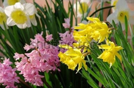 daffodil and hyacinth 06 Stock photo © LianeM