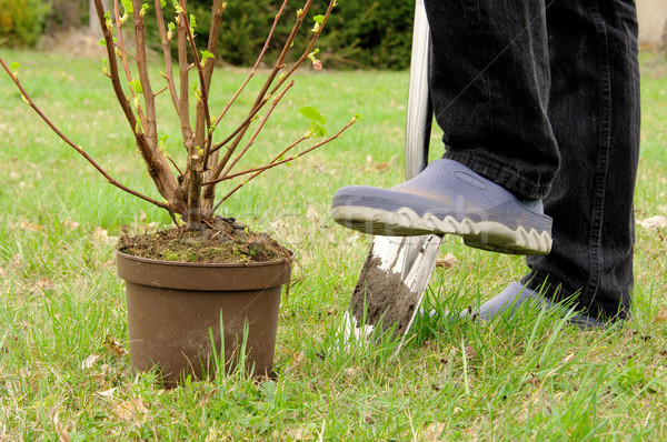 Stock photo: planting a shrub 07