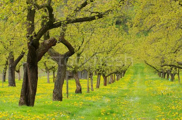 Wachau apricot trees  Stock photo © LianeM