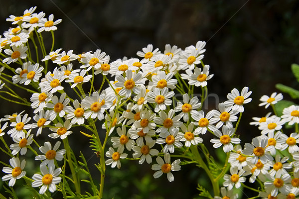 Tanacetum ferulaceum, a species in the aster family Stock photo © LianeM