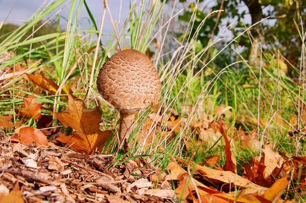 Parasol mushroom 13 Stock photo © LianeM