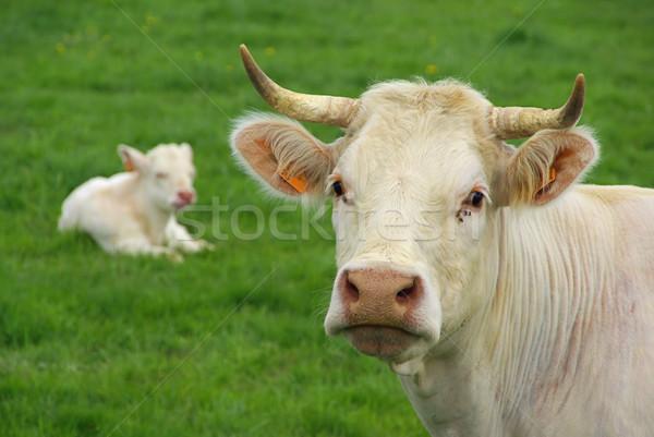 cow 24 Stock photo © LianeM
