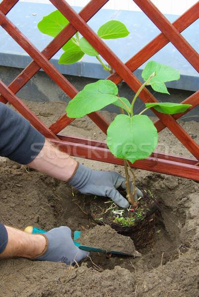 planting a kiwi plant 02 Stock photo © LianeM