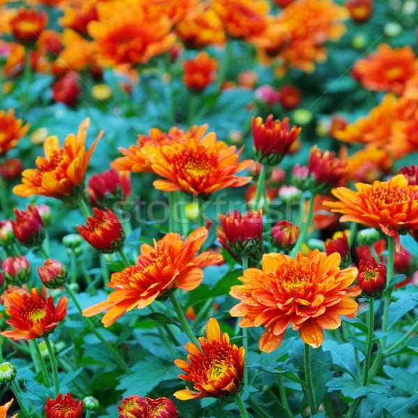 Chryzantema piękna pomarańczowy zielone wzór makro Zdjęcia stock © LianeM