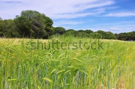 árpa mező étel természet fül mezőgazdaság Stock fotó © LianeM