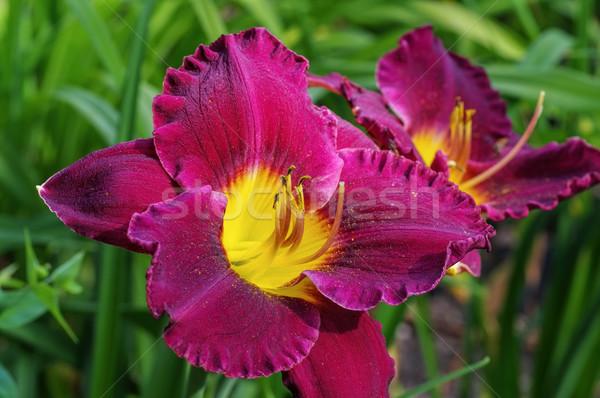 Soorten paars Stockfoto © LianeM