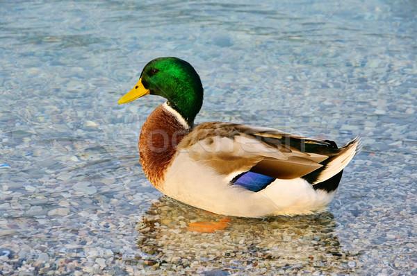 Pato 15 natureza verde azul pena Foto stock © LianeM
