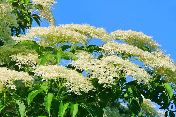 Aîné fleur usine blanche branche fleurir Photo stock © LianeM