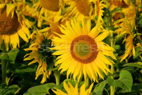 sunflowers field 03 Stock photo © LianeM