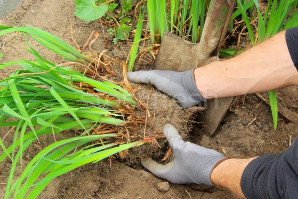 Krzew pracy liści zielone bed roślin Zdjęcia stock © LianeM