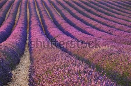 ラベンダー畑 花 美 フィールド 緑 工場 ストックフォト © LianeM