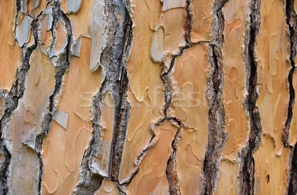 Fenyőfa ugatás fa fa természet növény Stock fotó © LianeM