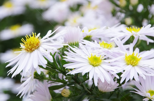 Aster white  Stock photo © LianeM
