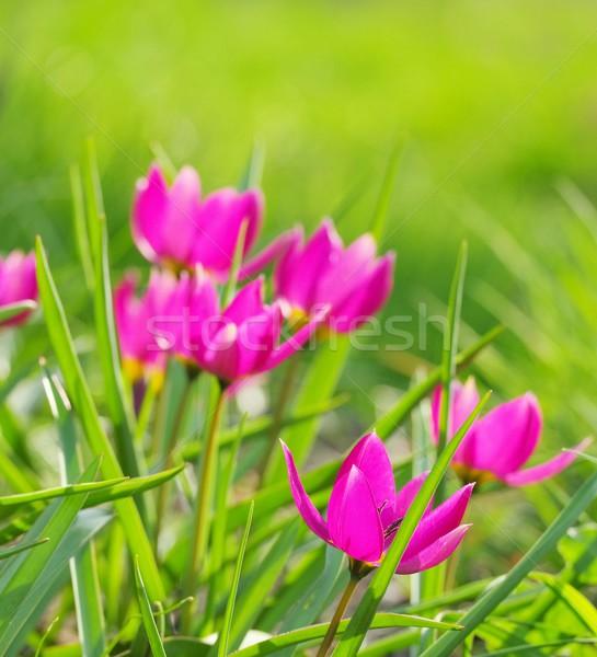 wild tulip  Stock photo © LianeM