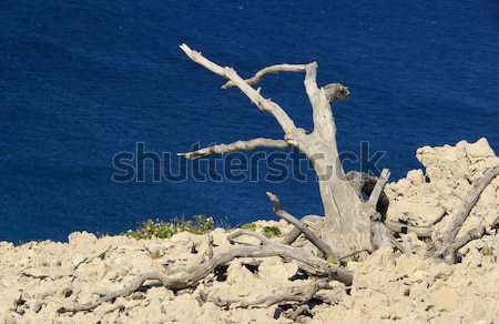 Arbre morts bois mer bleu Rock Photo stock © LianeM