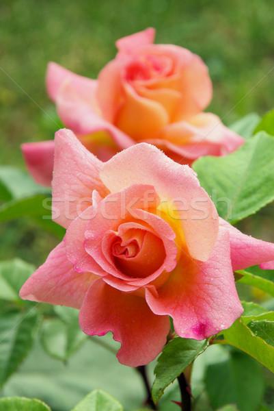 Rose 40 Stock photo © LianeM