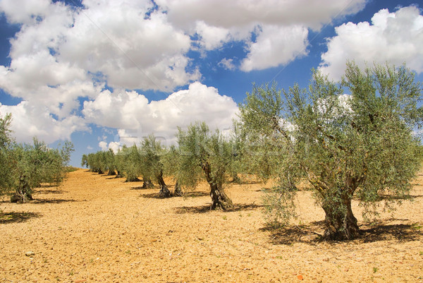olive grove 28 Stock photo © LianeM