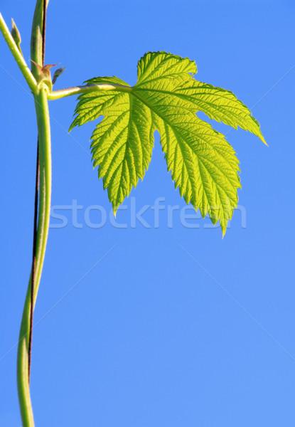 Hop impianto cielo verde foglie ramo Foto d'archivio © LianeM